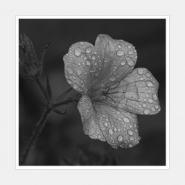 A mallow flower covered in raindrops