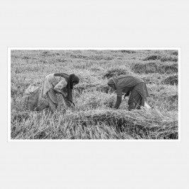 Chamar women foraging in field after harvest, Punjab, India